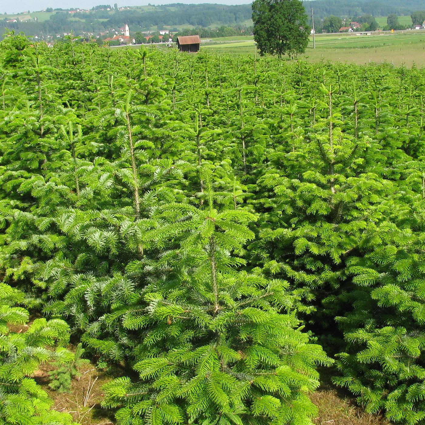 Weihnachtsbaumkultur - ökologisch wertvoll